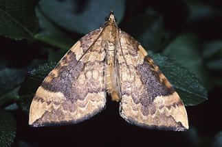 Eulithis populata - Veränderlicher Haarbüschelspanner
