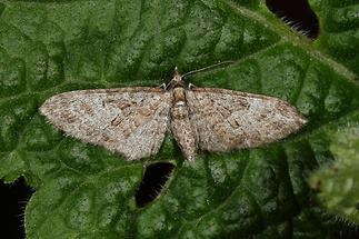 Eupithecia abbreviata - Eichen-Blütenspanner