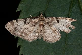 Eupithecia abietaria - Fichtenzapfen-Blütenspanner