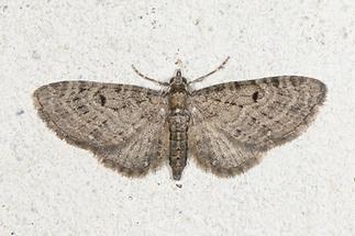 Eupithecia tenuiata - Weiden-Blütenspanner