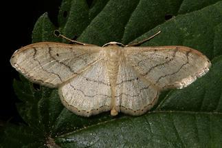 Idaea aversata f. remutata - Breitgebänderter Staudenspanner