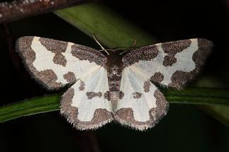 Lomaspilis marginata - Schwarzrand-Harlekin