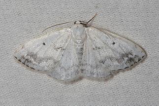 Lomographa temerata - Schattenbinden-Weißspanner, Lichtfang