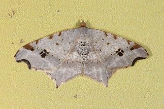 Macaria alternata - Dunkelgrauer Eckflügelspanner (1)