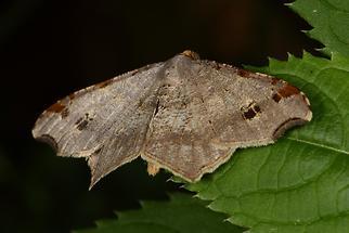 Macaria alternata - Dunkelgrauer Eckflügelspanner (2)