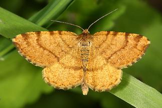 Macaria brunneata - Waldmoorspanner, Weibchen