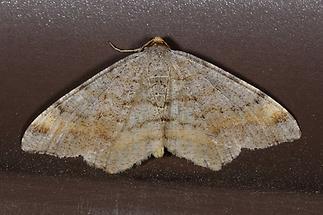Macaria liturata - Violettgrauer Eckflügelspanner