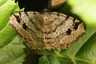 Macaria signaria - Braungrauer Eckflügelspanner