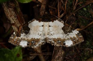Melanthia procellata - Sturmvogel
