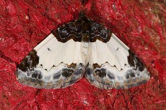 Mesoleuca albicillata - Brombeer-Blattspanner (1)
