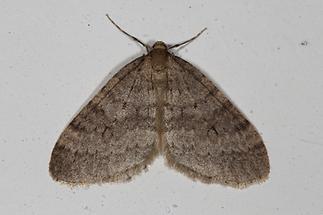 Operoptera brumata - Kleiner Frostspanner, Männchen