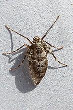 Operoptera brumata - Kleiner Frostspanner, Weibchen