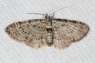 Pasiphila debiliata - Heidelbeer-Grünspanner, Lichtfang