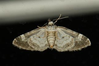 Perizoma alchemillata - Hohlzahn-Kapselspanner, Unterseite