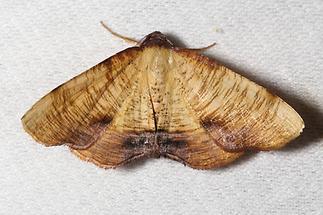 Plagodis dolobraria - Hobelspanner, Lichtfang