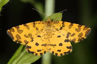 Pseudopanthera macularia - Pantherspanner (1)