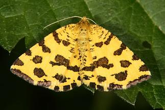 Pseudopanthera macularia - Pantherspanner (2)