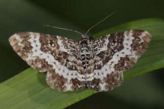 Rheumaptera subhastata - Großer Speerspanner (1)