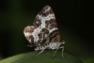 Rheumaptera subhastata - Großer Speerspanner (2)