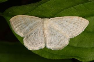 Scopula floslactata - Gelblichweißer Kleinspanner