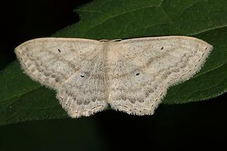 Scopula nigropunctata - Eckflügel-Kleinspanner (1)