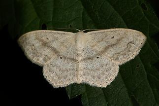 Scopula nigropunctata - Eckflügel-Kleinspanner (2)