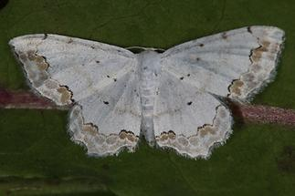 Scopula ornata - Schmuck-Kleinspanner
