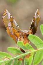 Selenia tetralunaria - Violettbrauner Mondfleckspanner (2)
