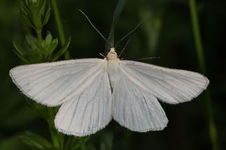 Siona lineata - Hartheu-Spanner