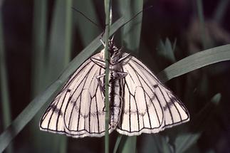 Siona lineata - Hartheu-Spanner, Unterseite
