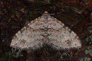 Venusia cambrica - Ebereschen-Bergspanner