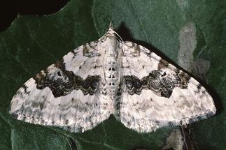 Xanthorhoe montanata - Schwarzbraunbinden-Blattspanner