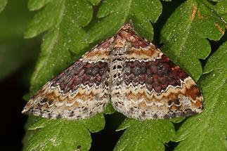 Xanthorhoe spadicearia - Heller Rostfarben-Blattspanner