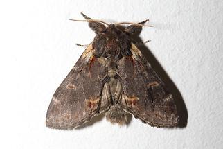 Notodonta dromedarius - Dromedar-Zahnspinner, auf weißer Wand (1)