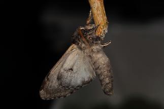 Notodonta tritophus - Espen-Zahnspinner, Männchen (1)