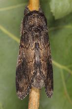Notodonta tritophus - Espen-Zahnspinner, Männchen (4)