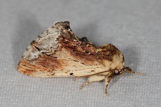 Ptilodon cucullina - Ahorn-Zahnspinner, Falter, Lichtfang