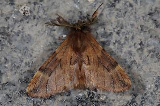 Ptilophora plumigera - Haarschuppen-Zahnspinner, Männchen