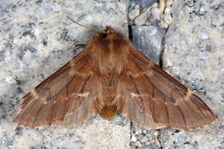 Ptilophora plumigera - Haarschuppen-Zahnspinner, Weibchen