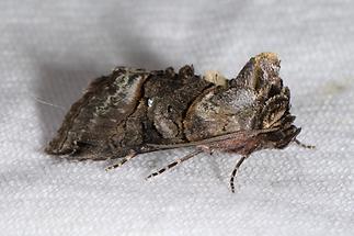 Abrostola tripartita - Silbergraue Nessel-Höckereule, Falter Lichtfang