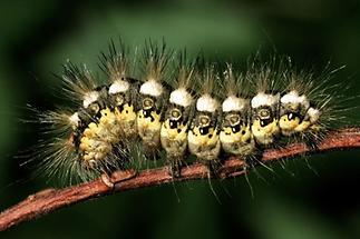 Acronicta euphorbiae - Wolfsmilch-Rindeneule, erwachsene Raupe (1)