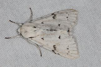 Acronicta leporina - Woll-Rinseneule, Falter Lichtfang