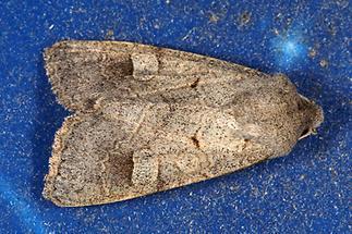 Ammoconia caecimacula - Graubraune Frühherbsteule, Falter Lichtfalle