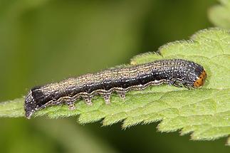 Anorthoa munda - Zweifleck-Kätzcheneule, Raupe (1)