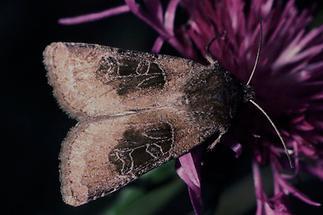 Chersotis cuprea - Kupfereule, Falter Oberseite