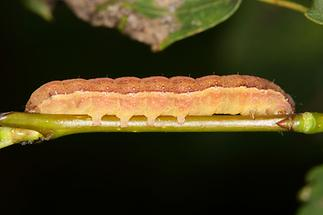 Chloantha hyperici Ruderalflur-Johanneskrauteule - kein dt. Name bekannt, Raupe