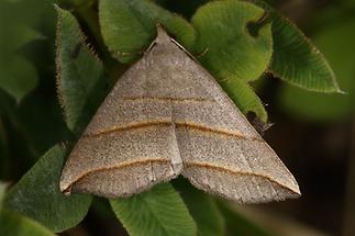 Colobochyla salicalis - Weiden-Spannereule, Falter Oberseite