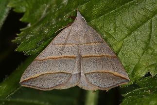 Colobochyla salicalis - Weiden-Spannereule
