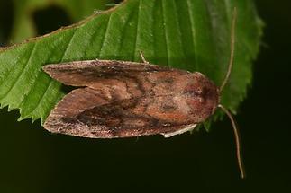 Cosmia pyralina - Violettbraune Ulmeneule, Falter Seite
