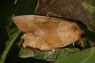 Cosmia trapezina - Trapezeule, Falter Oberseite